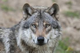 Platformbijeenkomst: Komst van de Wolf