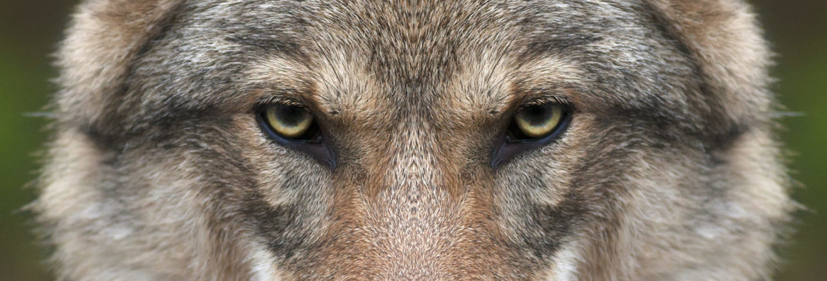 Wolven schade melden bel BIJ12   085-4562222